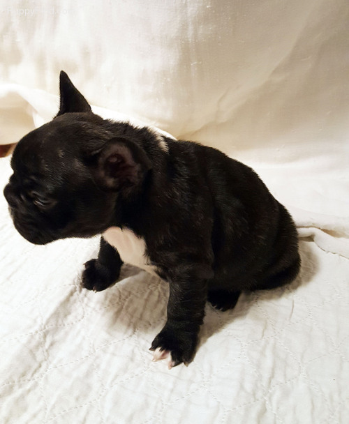 Awesome healthy french bulldog pups now available Text 443-563-1239