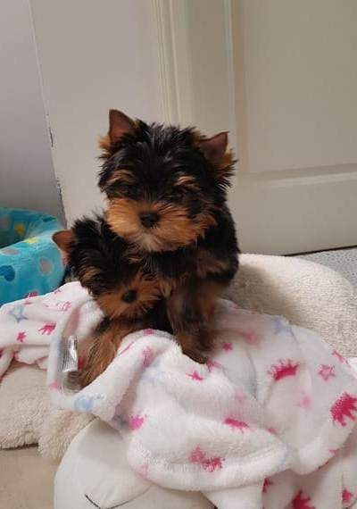 Home raised yorkie puppies for rehoming