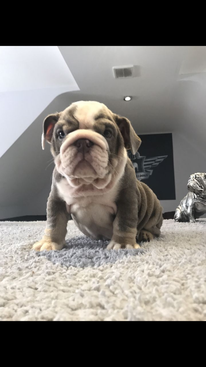 English and french bulldog puppies for sale