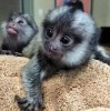 MARMOSET MONKEYS ARE READY TO GIVE UP FOR SALE